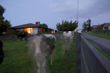 night cows